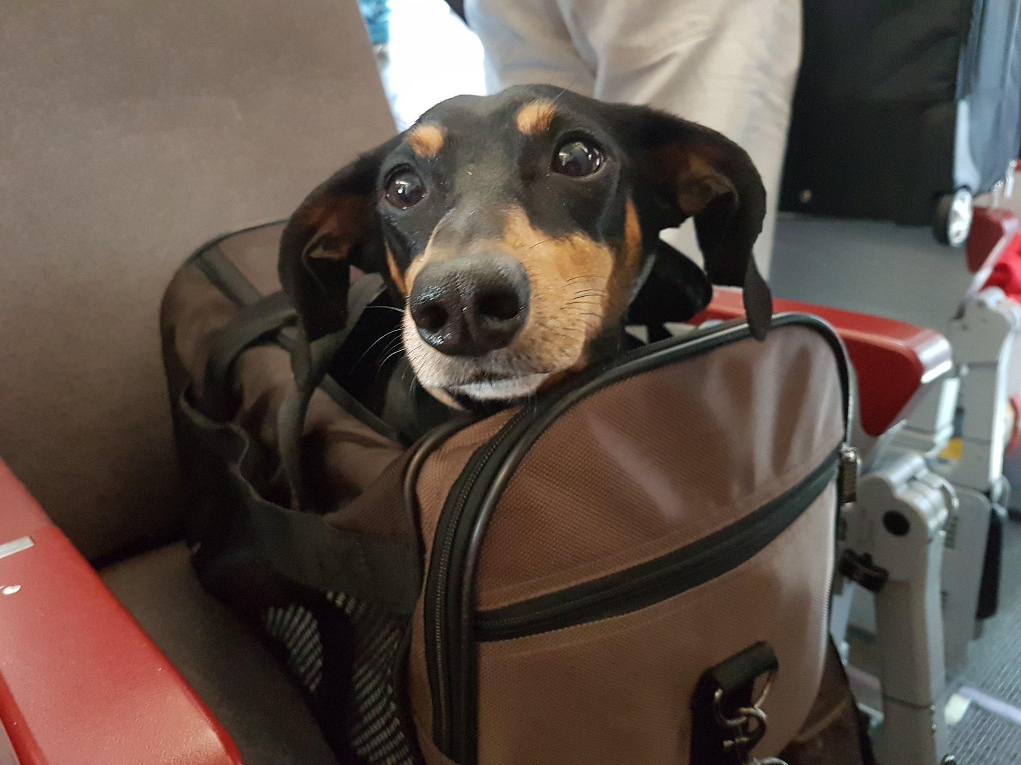 Kiba en el avión.